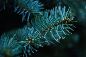 pine-1722699__340